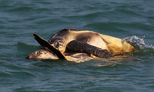 sea turtle at Bhitarkanika Nature Camps