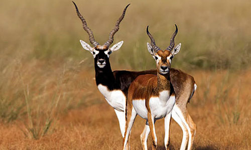 Blackbuck Nature Camp bhanjanagar