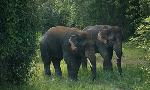 Wild Elephants- Chandaka Nature Camp