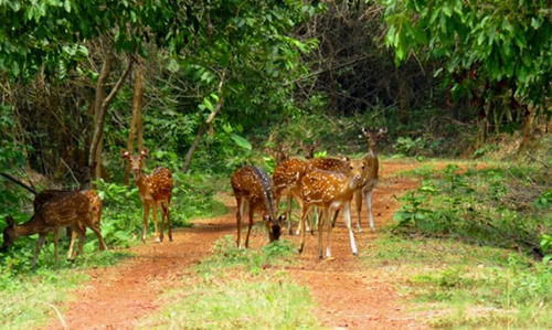Deer- Chandaka Nature Camp