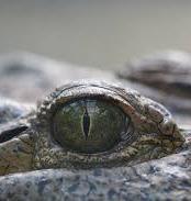 Exploring The Estuarine Crocodile Tour
