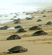 OLIVE RIDLEY TOUR